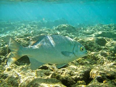 Hawaiian Fish Photograph - Pacific Chub 1080113.jpg by Michael Peychich