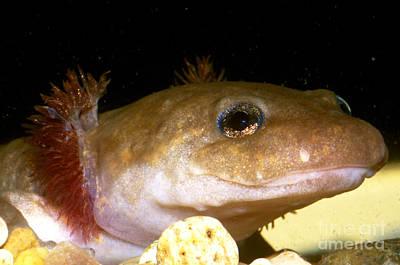 Salamanders Photograph - Pacific Giant Salamander Larva by Dante Fenolio