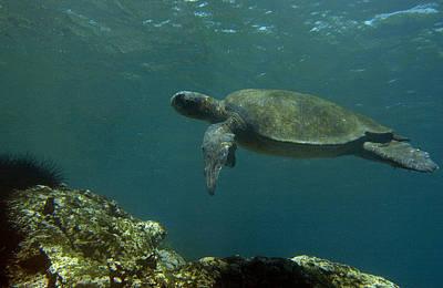Green Sea Turtle Photograph - Pacific Green Sea Turtle Chelonia Mydas by Pete Oxford