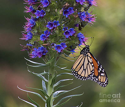 Photograph - Pacific Grove Monarch by Jim And Emily Bush