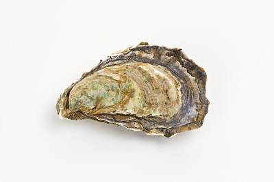 Pacific Oyster Art Print by David Nunuk