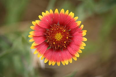 Art Print featuring the photograph Painted Blanket Flower by Donna  Smith