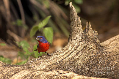 Painted Bunting On Log Art Print by Anne Rodkin