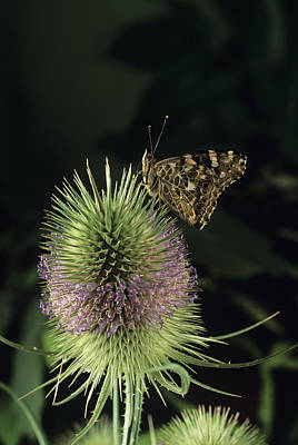 Painted Lady Butterfly Art Print by David Aubrey