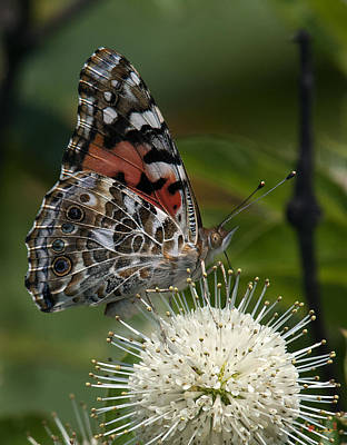 Photograph - Painted Lady Butterfly Din049 by Gerry Gantt