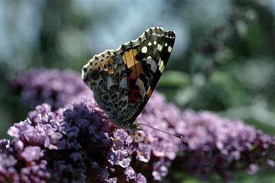Buddleia Photograph - Painted Lady Butterfly Feeding by Vaughan Fleming
