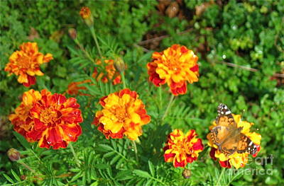 Photograph - Painted Lady Butterfly In The Marigolds  by Nancy Patterson