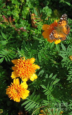 Photograph - Painted Lady Butterfly Landing In The Marigolds  by Nancy Patterson
