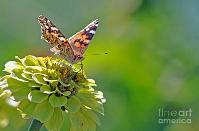 Photograph - Painted Lady Butterfly by Laura Mountainspring