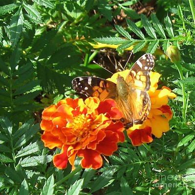 Photograph - Painted Lady Butterfly by Nancy Patterson