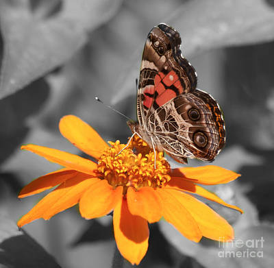 Photograph - Painted Lady Butterfly On Zinnia by Jim And Emily Bush