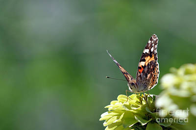 Photograph - Painted Lady  by Laura Mountainspring