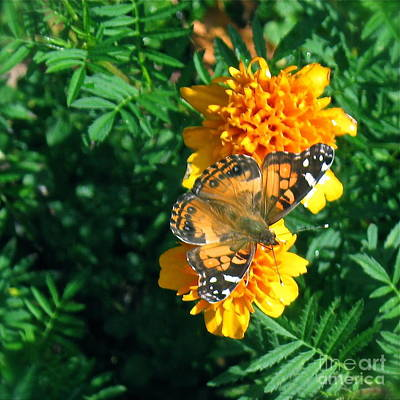 Photograph - Painted Lady  by Nancy Patterson
