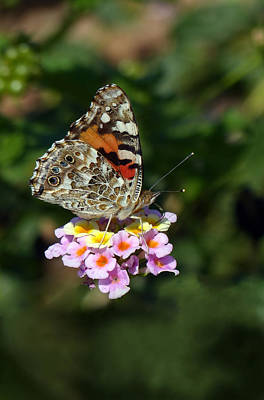 Painted Lady Art Print by Randall Ingalls