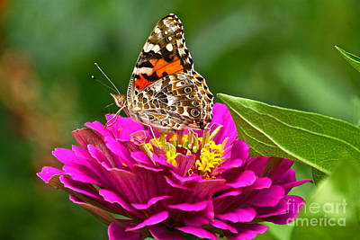 Photograph - Painted Lady With Zinnia by Byron Varvarigos