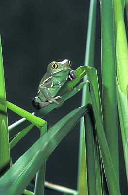 Western Art - Painted Monkey Frog In Reeds by John Pitcher