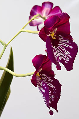 Painted  Orchid L Art Print by Shirley Mitchell
