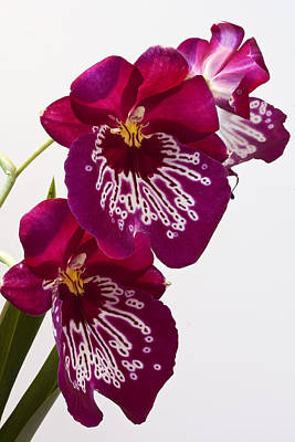 Painted Orchid Art Print by Shirley Mitchell