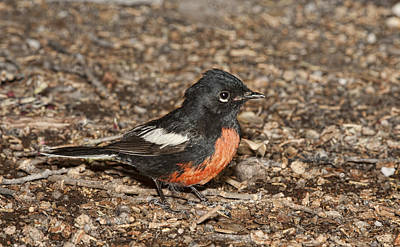 Photograph - Painted Redsstart by Gregory Scott