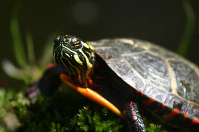 Photograph - Painted Turtle by Benjamin Dahl