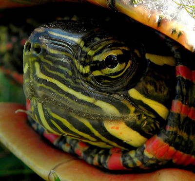 Pond Photograph - Painted Turtle by Griffin Harris