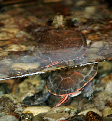 Reflection Photograph - Painted Turtle by LeeAnn McLaneGoetz McLaneGoetzStudioLLCcom