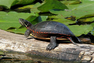 Painted Turtle On Log Art Print