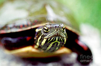 Chelonian Photograph - Painted Turtle by Ted Kinsman