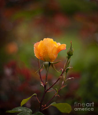 Abstract Flowers Royalty-Free and Rights-Managed Images - Painterly Yellow Rose by Mike Reid