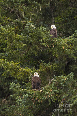Pair Of Bald Eagles Art Print by Darcy Michaelchuk