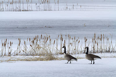 Canadian Marsh Photograph - Pair Of Canada Geese Walking by Philippe Henry