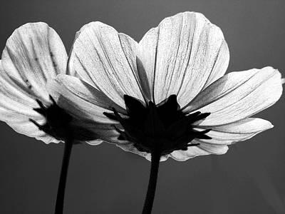 Vibrant Photograph - Pair Of Cosmia Flower by Sumit Mehndiratta