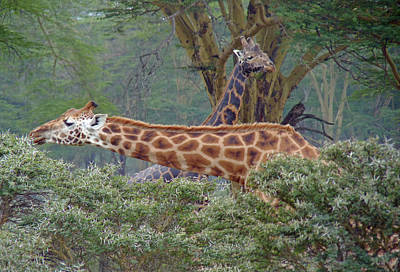 Photograph - Pair Of Giraffes by Tony Murtagh