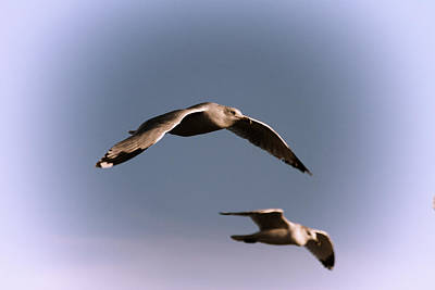 Pair Of Gulls Art Print by Karol Livote