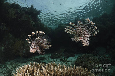 Black And White Flower Photography - Pair Of Lionfish, Indonesia by Todd Winner