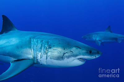 Moody Trees - Pair Of Male Great White Sharks by Todd Winner