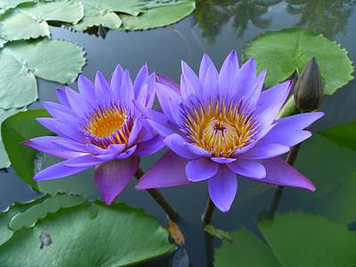 Pair Of Purple Lotuses Print by Gregory Smith