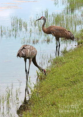Photograph - Pair Of Sandhills At The Marsh by Carol Groenen