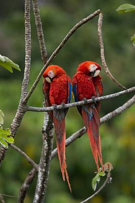 Osa Wall Art - Photograph - Pair Of Scarlet Macaws by Roy Toft
