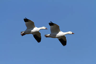 Pair Of Snow Geese In Flight. Chen Art Print by Philippe Henry