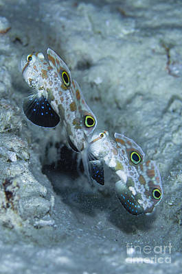 Stellar Interstellar - Pair Of Twinspot Gobys, Australia by Todd Winner