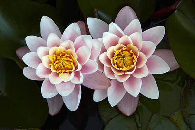 Y120831 Photograph - Pair Of Water Lilys by Allan Baxter