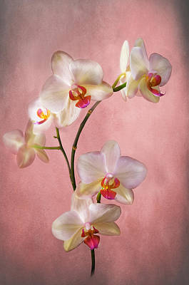 Pale Pink Orchid Spray Art Print by Jacqi Elmslie