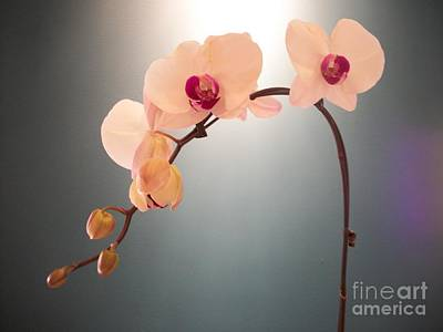 Photograph - Pale Pink Orchids by Mary Mikawoz