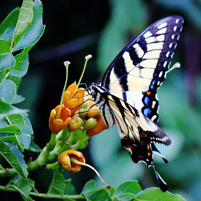 Photograph - Pale Swallowtail Butterfly-2-square by Barry Jones
