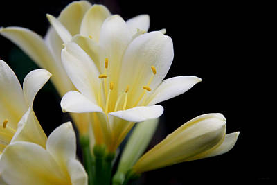 Photograph - Pale Yellow Clivia Miniata Flowers by Jennie Marie Schell