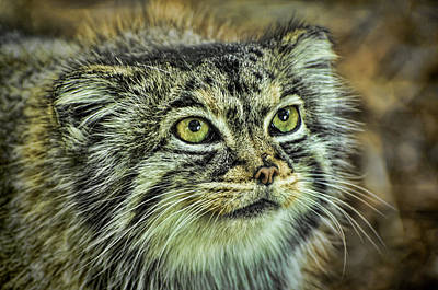 Photograph - Pallas Cat by Heather Applegate