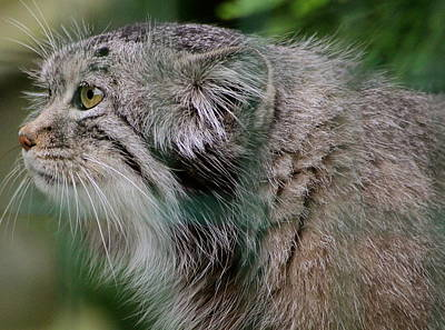 Pallas Cat Art Print by Karen Grist