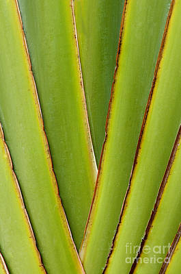 Photograph - Palm Frond Detail by Sandra Bronstein