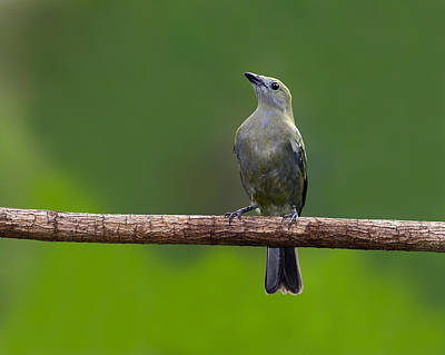 Photograph - Palm Tanager by Tony Beck